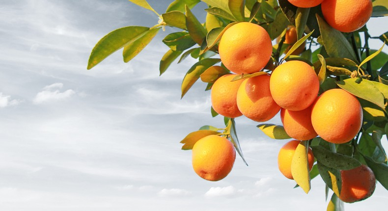 laranjas no pomar